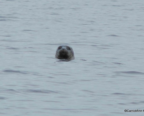 Seal in Carrickfinn