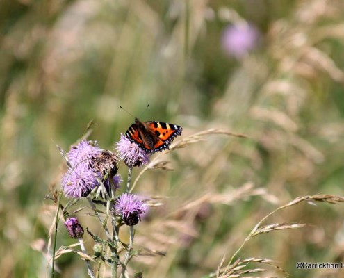 Small tortoiseshell Butterfly in the Meadow at Dún Ramhar