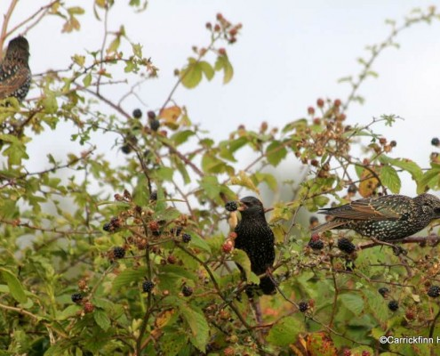 Starlings Feasting on Blackberries at Ard Mór
