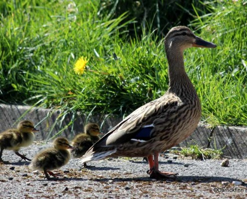 Wild Duck & Ducklings